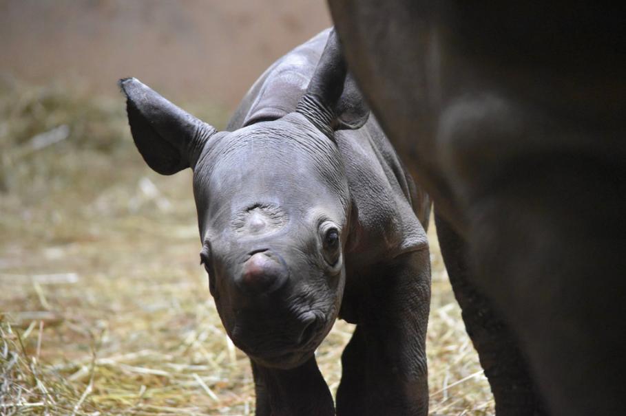 Rhinoceros, Kapuki, Gave Birth at Chicago's Lincoln Park Zoo