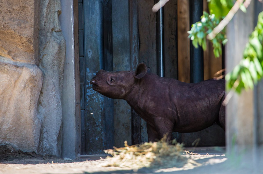 Eastern black rhino calf makes first appearance in public at Lincoln Park Zoo