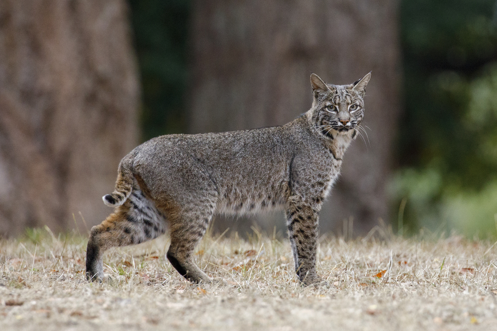 Experts expect lower population of bobcats this season