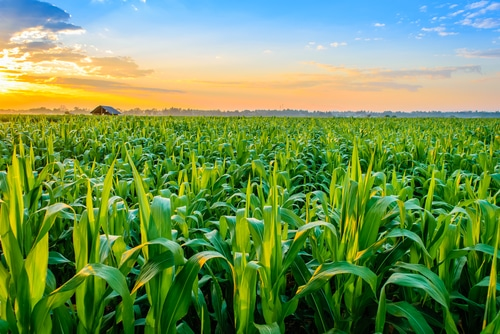 Rain, snow halts corn comeback