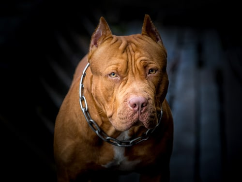 Ban on pit bulls lifted by Denver legislators