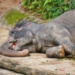 India: Pregnant elephant died of consuming fruit filled with firecrackers
