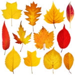 October 19; Curbside Leaf Collection Starts