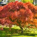 UIS begins planting 1,000 Japanese maple trees