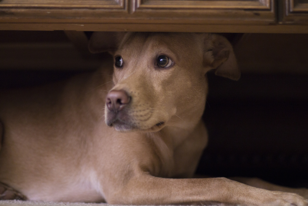 PCAPS Reminds Residents of Pet Safety Around Fireworks and Availability of Free Microchipping